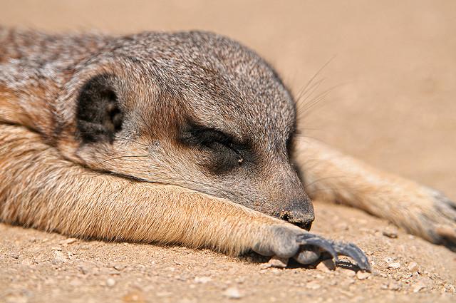 meerkat-sleeping